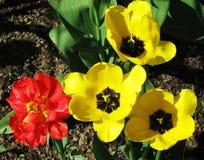 Gelbe und rote Tulpen auf dem Blumenbeet im Park Stockbild
