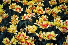 Gelbe und rote Tulpen im Sommer Lizenzfreies Stockbild