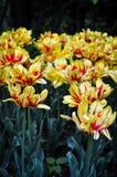 Gelbe und rote Tulpen im Sommer Stockbilder