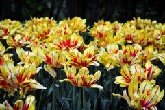 Gelbe und rote Tulpen im Sommer Lizenzfreie Stockfotografie