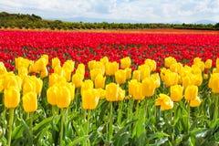 Gelbe und rote Tulpen während des sonnigen Tages im Sommer Stockfotografie