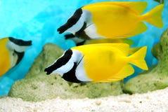 Gelbe und schwarze Fische lizenzfreie stockbilder