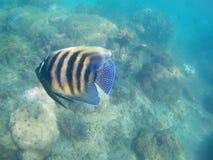 Gelbe und schwarze Fische mit blauen Stellen vor Korallenriff lizenzfreie stockbilder