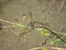 Gelbe und schwarze Libelle Stockfotos