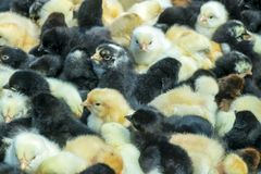 Gelbe und schwarze neugeborene Hühner auf lokalem Landwirtmarkt Wenig flaumige Babyküken stockfotos