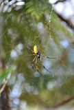 Gelbe und schwarze Spinne Nephila Inaurata auf ihrem Netz Lizenzfreie Stockfotografie