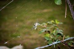 Gelbe und schwarze Spinne und Netz - 2 stockbild