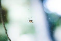 Gelbe und schwarze Spinne in seinem Netz Lizenzfreies Stockfoto