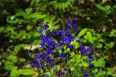Gelbe und schwarze Swallowtail-Schmetterlinge auf zwergartigem Rittersporn lizenzfreies stockbild
