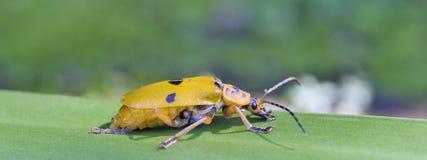Gelbe und schwarze Wanze auf grünen Blättern Lizenzfreie Stockfotos