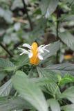 Gelbe und weiße Blume Stockfotografie