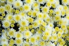 Gelbe und weiße Chrysantheme Stockfotografie