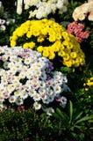 Gelbe und weiße Chrysantheme Stockbilder