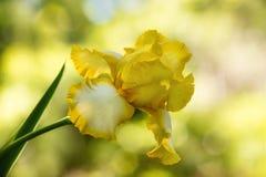 Gelbe und weiße Farbeirisblume, die im Frühjahr blüht Lizenzfreie Stockbilder