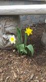 Gelbe und weiße Frühlingsblume Lizenzfreie Stockfotos