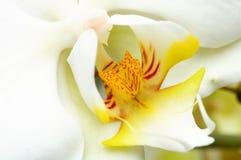 Gelbe und weiße Orchidee Stockbilder