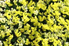 Gelbe und weiße Orchideen Lizenzfreie Stockfotografie