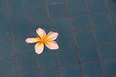 Gelbe und weiße Plumeriablume auf Wasseroberfläche Stockbilder