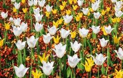 Gelbe und weiße Tulpen Stockfotos