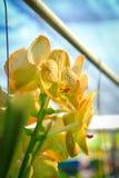 Gelbe Vanda-Orchidee Stockfotos