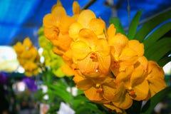 Gelbe Vanda-Orchidee Lizenzfreies Stockfoto