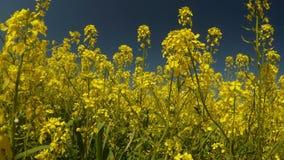 Gelbe Vergewaltigungsblumen und blauer Himmel, die Winderschütterungen Gras und die Bienen sammeln Blütenstaub, ein ruhiges Bild stock video footage