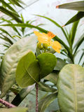 Gelbe Vermögensbetriebsblume Lizenzfreies Stockfoto