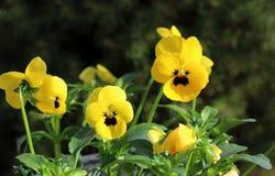 Gelbe Viola am Frühling im Garten Blüht helle gelbe Farben der Pansies mit einer dunklen Mittelnahaufnahme Gesund und essbar Stockfotos