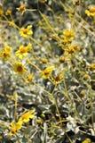 Gelbe Wüsten-Blumen Lizenzfreies Stockfoto