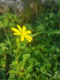 Gelbe Waldblume stockbild