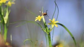 Gelbe Waldblume und -insekt bestäubt es stock footage