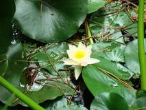 Gelbe Wasserblume Lizenzfreie Stockbilder