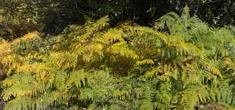 Gelbe Wedel des gemeinen Adlerfarns, Pteridium aquilinum Stockfoto