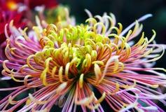 Gelbe weiße Chrysantheme Lizenzfreie Stockfotografie