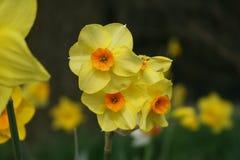 Gelbe weiße Lilie in /gele-paaslelie des natürlichen Hintergrundes im weide lizenzfreies stockfoto