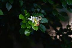 Gelbe weiße Schmetterlinge hocken auf Baum lizenzfreie stockfotografie