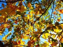 Gelbe Weinreben mit blauem Himmel stockfotos