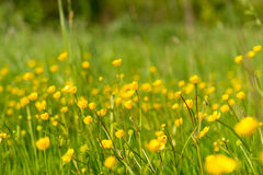 Gelbe Wiese der Blumen im Frühjahr lizenzfreies stockbild