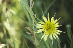 Gelbe Wiesenblume auf unscharfem natürlichem Hintergrund Stockbild