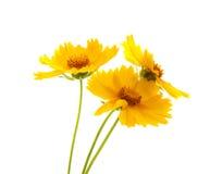 Gelbe Wiesenblumen Stockfotografie