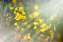 Gelbe Wiesenblumen belichtet durch Sonnenstrahlen Lizenzfreies Stockbild