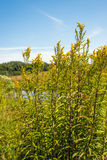 Gelbe wilde blühende Goldrutenanlagen vom Abschluss Lizenzfreie Stockbilder
