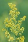 Gelbe wilde Blume stockfotos