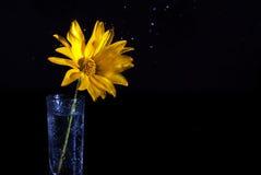 Gelbe wilde Blume in einem Glasvase mit Wasserspray auf einem dunklen Hintergrund Stockfotografie
