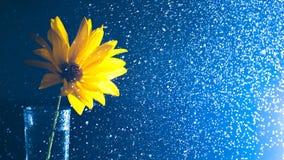 Gelbe wilde Blume in einem Glasvase mit Wasserspray contre auf einem dunklen Hintergrund Stockbild