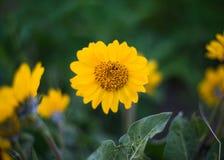 Gelbe wilde Blume mit grünem Laub stockfotografie