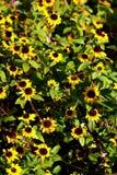 Gelbe wilde Blumen Lizenzfreie Stockbilder