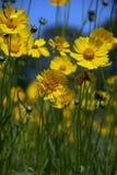 Gelbe wilde Blumen Stockfoto