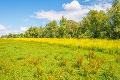 Gelbe wilde Blumen auf einem Gebiet im Sommer Lizenzfreies Stockbild