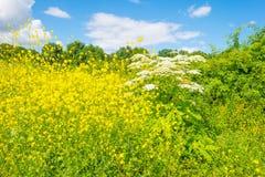Gelbe wilde Blumen auf einem Gebiet im Sommer Lizenzfreie Stockfotografie